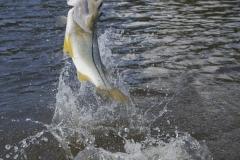 snook-flamingo-everglades-fishing-pat-ford-skiff-life (4).jpg