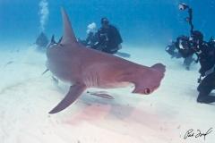 sharks-photos-pat-ford (10).jpg