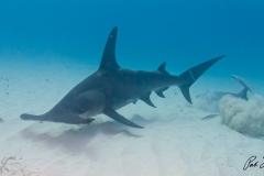 sharks-photos-pat-ford (11).jpg