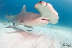 sharks-photos-pat-ford (16).jpg