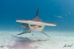 sharks-photos-pat-ford (17).jpg