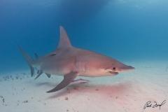 sharks-photos-pat-ford (2).jpg