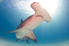 sharks-photos-pat-ford (22).jpg