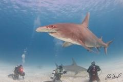 sharks-photos-pat-ford (29).jpg