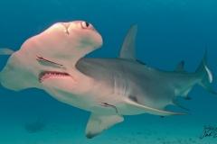 sharks-photos-pat-ford (3).jpg
