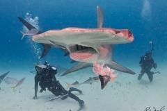 sharks-photos-pat-ford (34).jpg