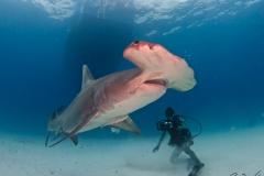 sharks-photos-pat-ford (35).jpg