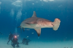 sharks-photos-pat-ford (37).jpg