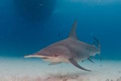 sharks-photos-pat-ford (38).jpg