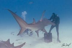 sharks-photos-pat-ford (4).jpg
