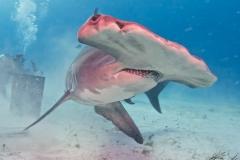 sharks-photos-pat-ford (42).jpg