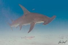 sharks-photos-pat-ford (5).jpg