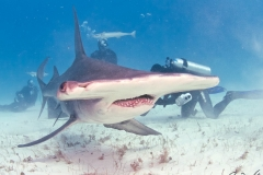 sharks-photos-pat-ford (7).jpg